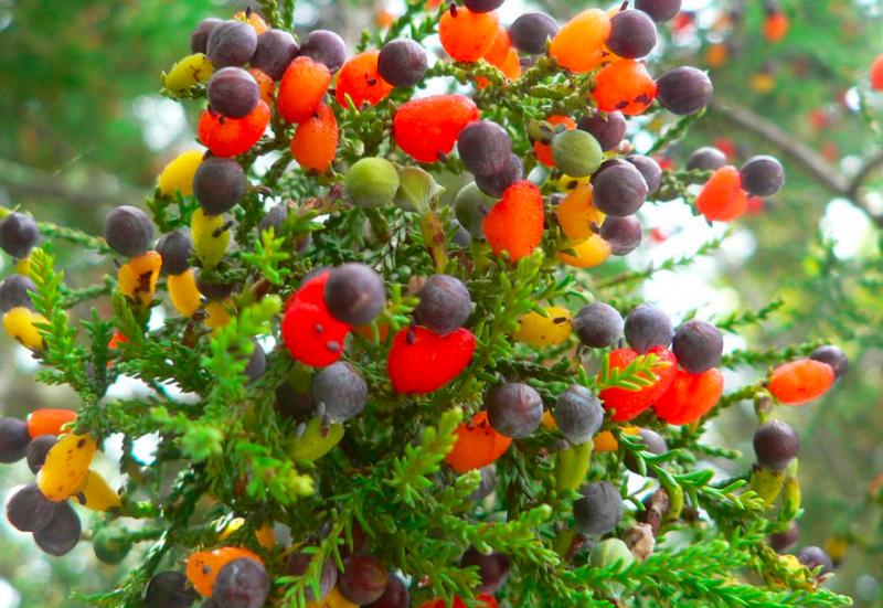 Multi-fruit tree