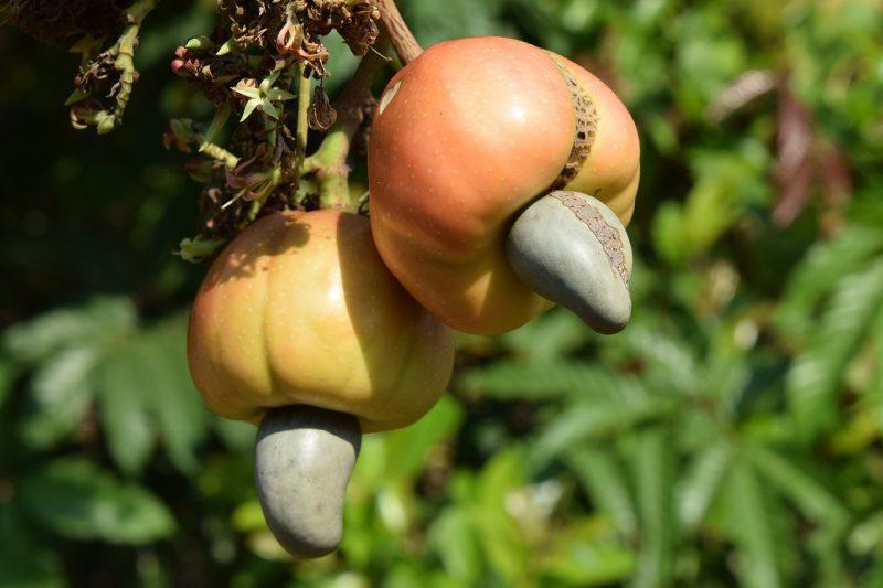 Cashew tree seed