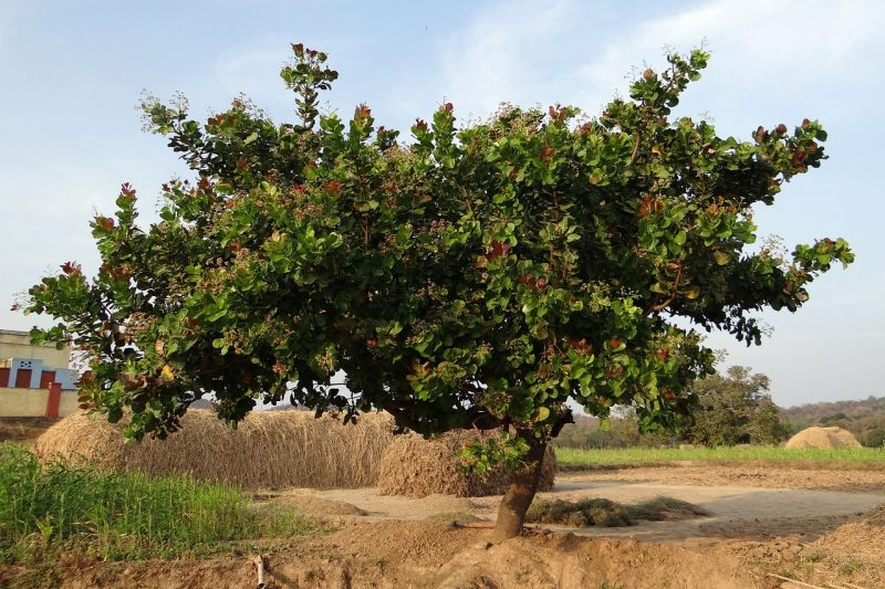 How to grow a cashew tree