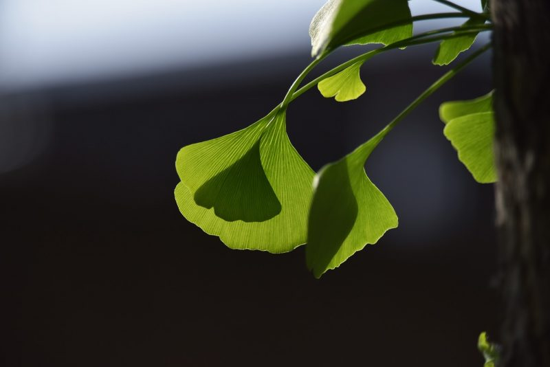 Where to grow ginkgo