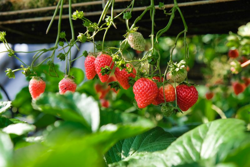 strawberries in containers