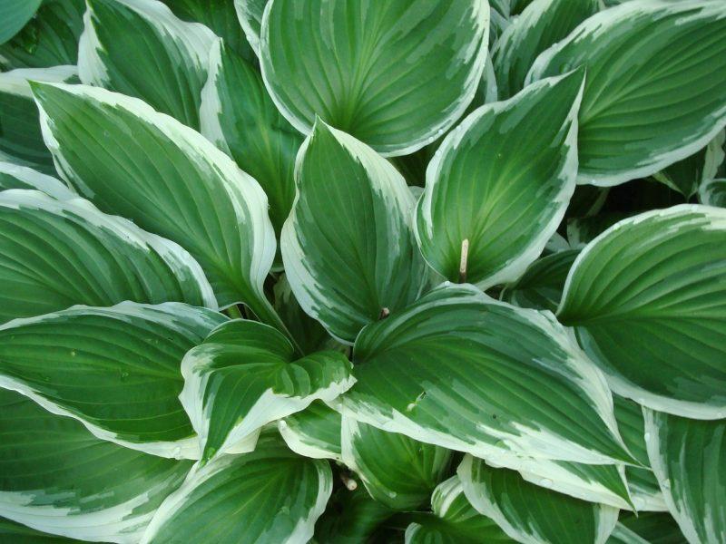 Hosta companion plant