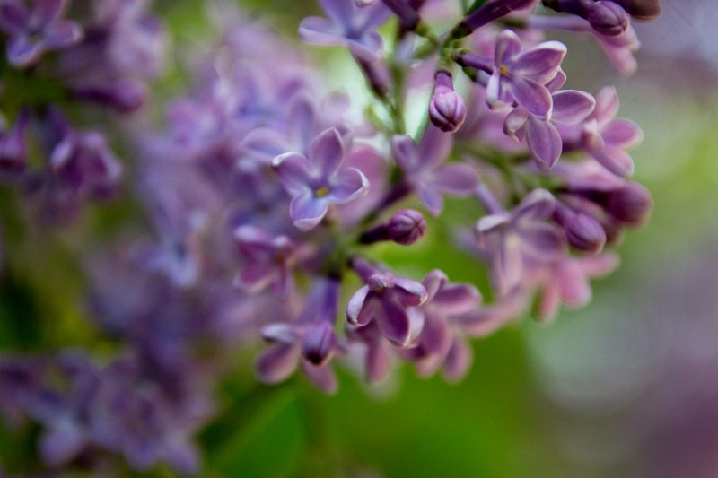 Beautiful lilac tree