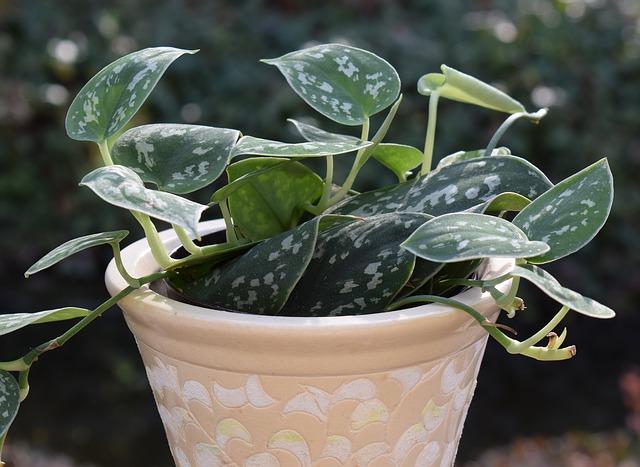 philodendron desk plants