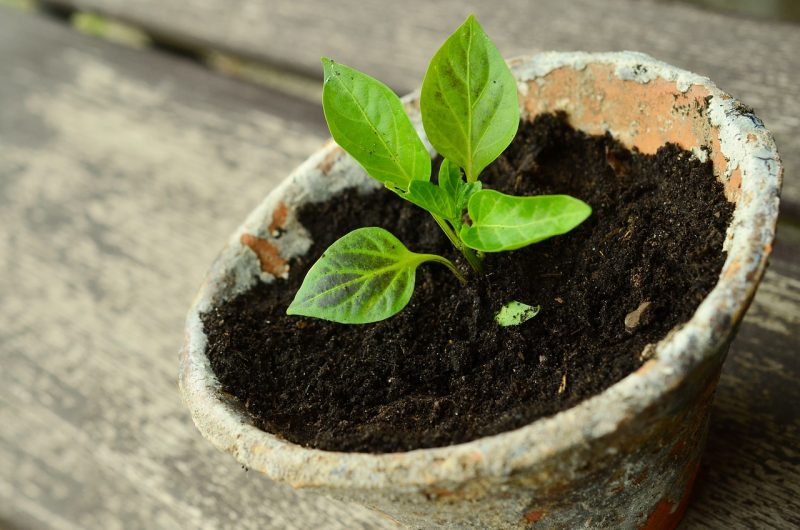 How to grow a lemon tree
