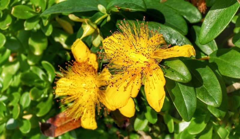 Using St. John's wort