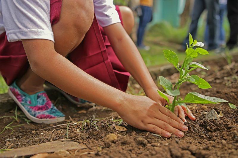 Planting a cashew tree