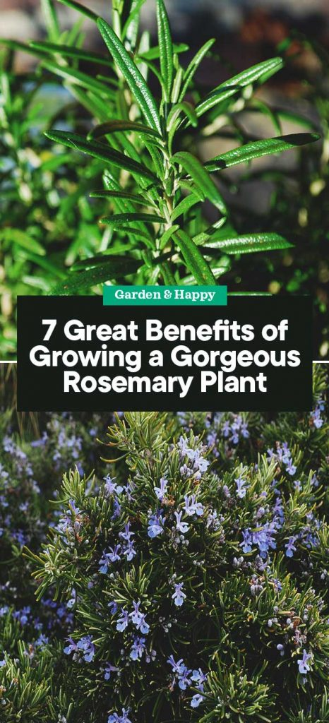 7 Great Benefits Of Growing A Gorgeous Rosemary Plant Garden And