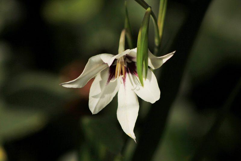 Abyssinian gladiolus bulb plants