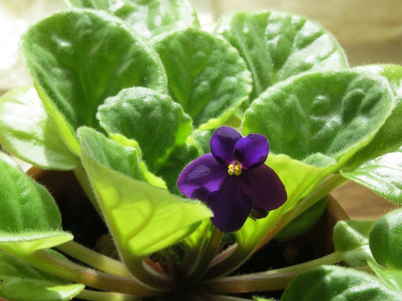 african violet desk plants