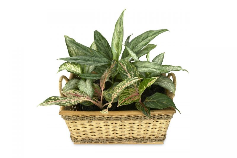 Aglaonema desk plants