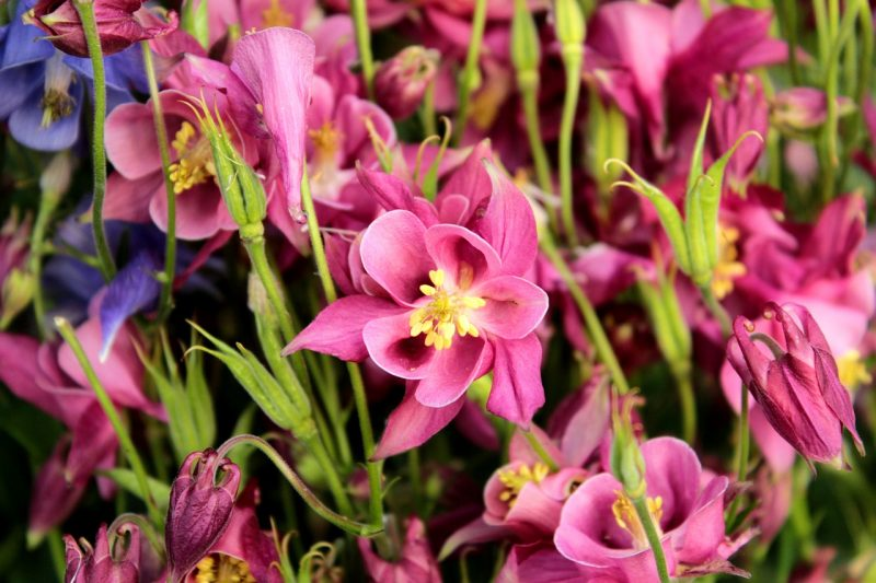 Columbine summer flowers