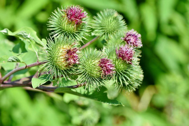 Burdock perennial herbs
