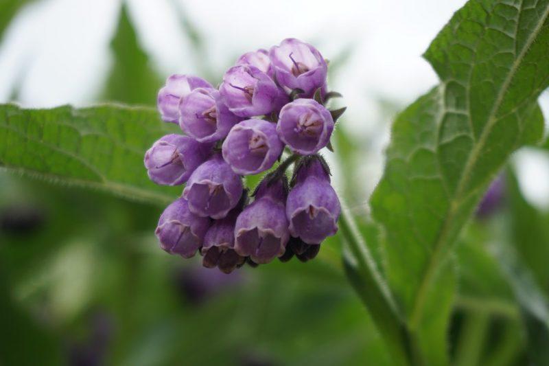 Comfrey perennial herbs