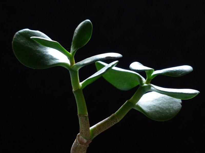 Jade desk plants