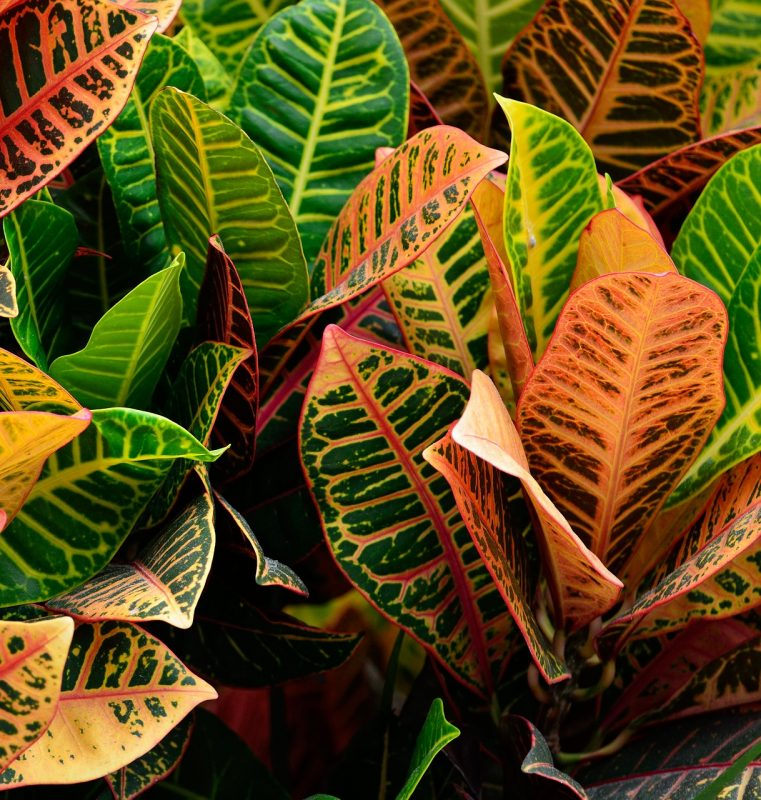 Croton bathroom plants
