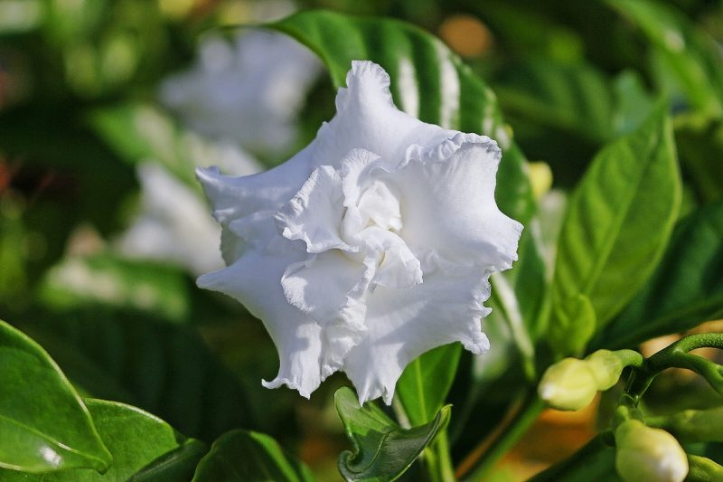 Gardenia is prone to spider mites
