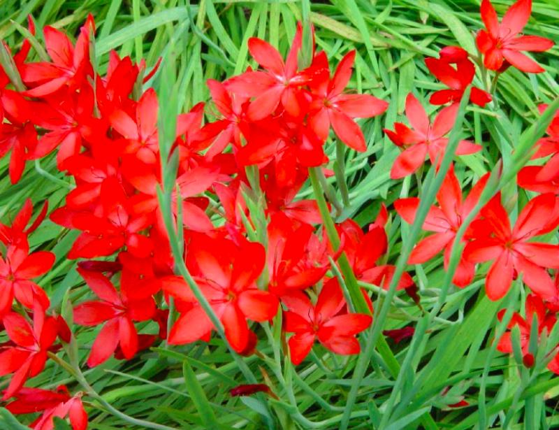 Hesperantha bulb plants