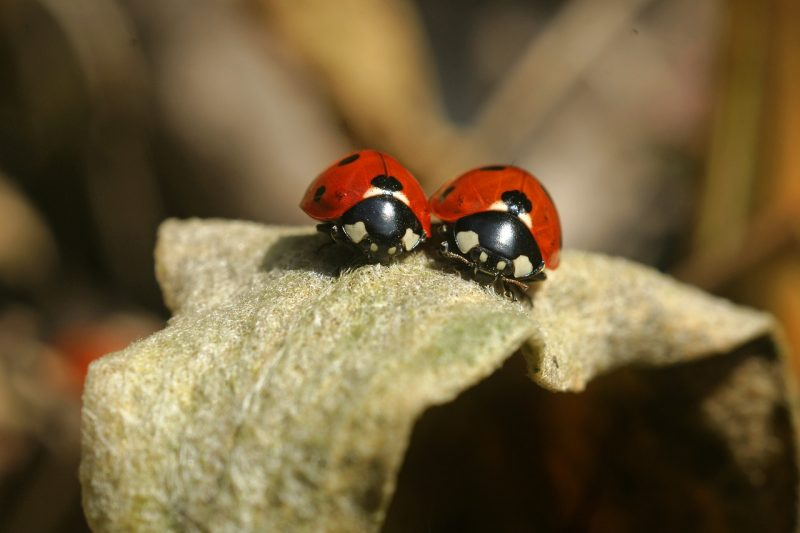 Caring for baby ladybugs