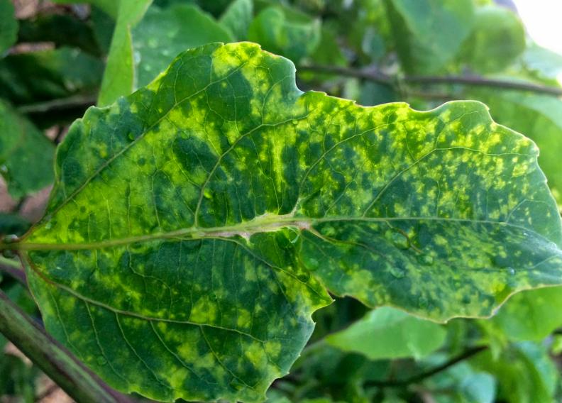 Mosaic Cucumber Plant Virus