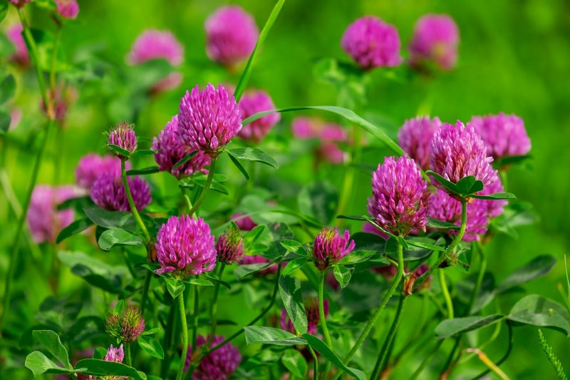 Perennial herbs like red clover