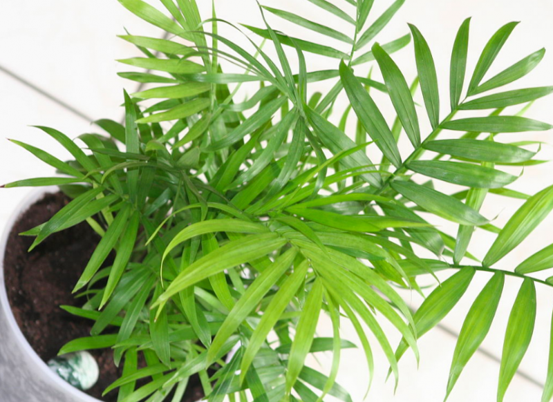 Reed palm bathroom plants