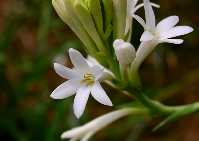 Tuberose Polianthes