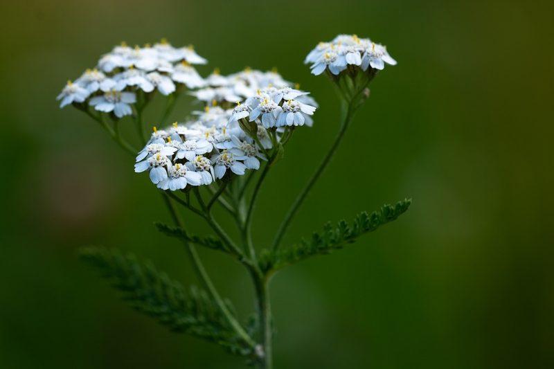 Yarrow perennial herbs