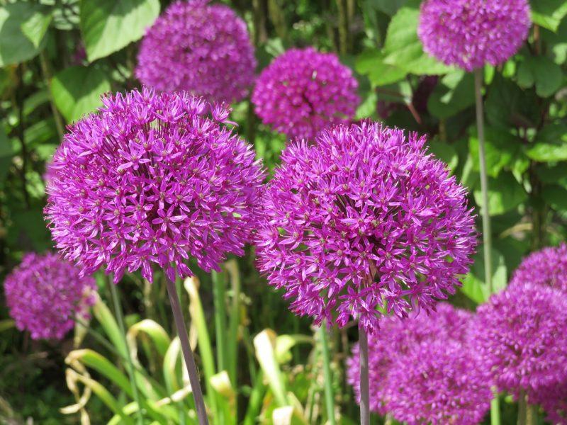 Spring allium bulb plants
