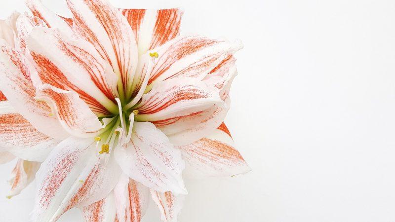 Amaryllis bulb plants