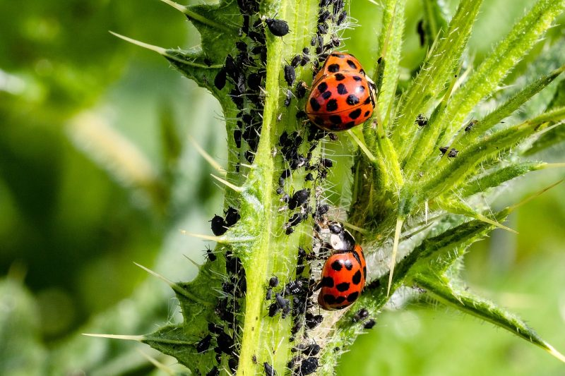 Baby ladybugs and their benefits