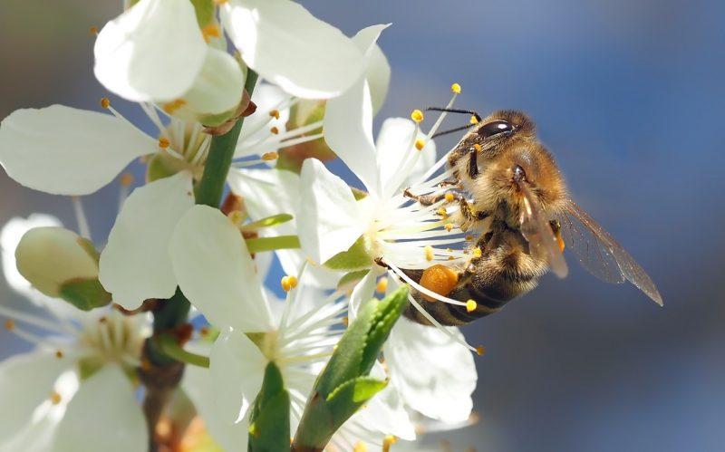 Espalier fruit trees pollination problems
