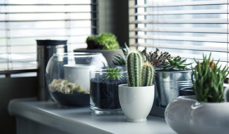 Cacti desk plants
