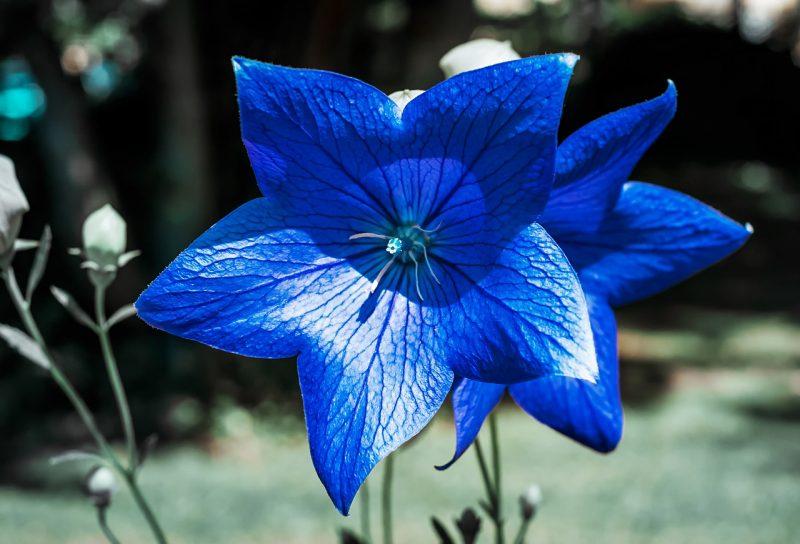 Campanula summer flowers