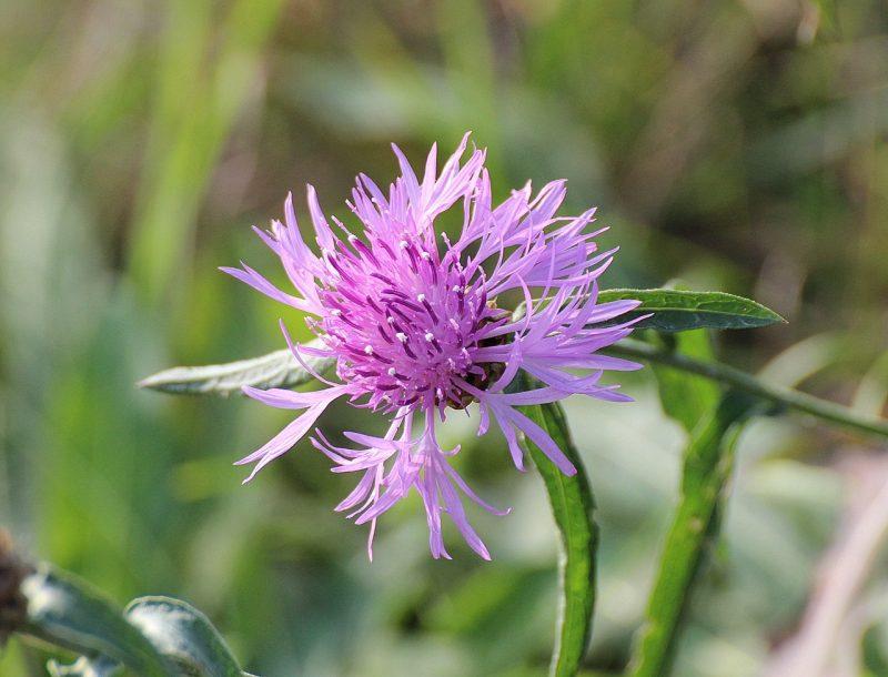 """Centaurea montana """"Carnea"""""""