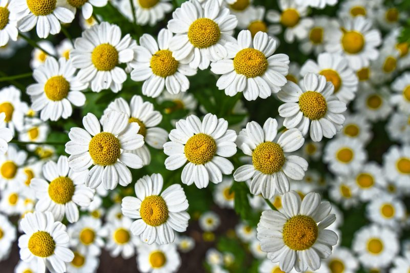 Chamomile for flower garden ideas