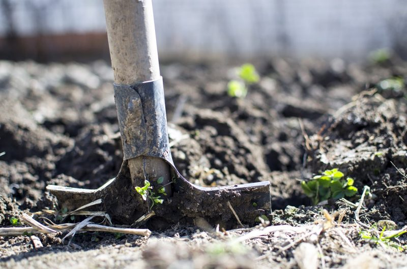 Soil preparation for espalier fruit trees
