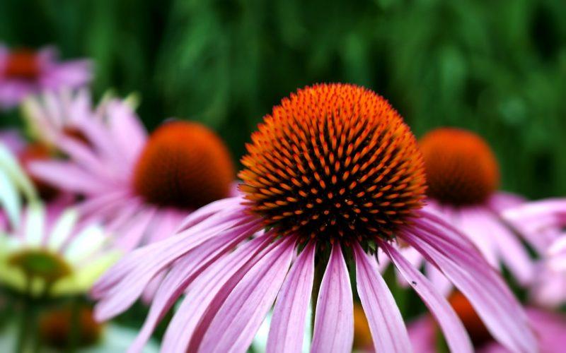 Echinacea perennial herbs