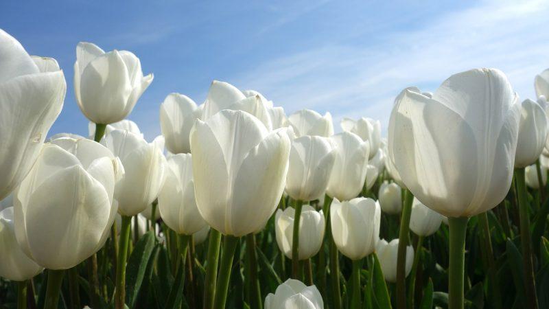 white bulb plants