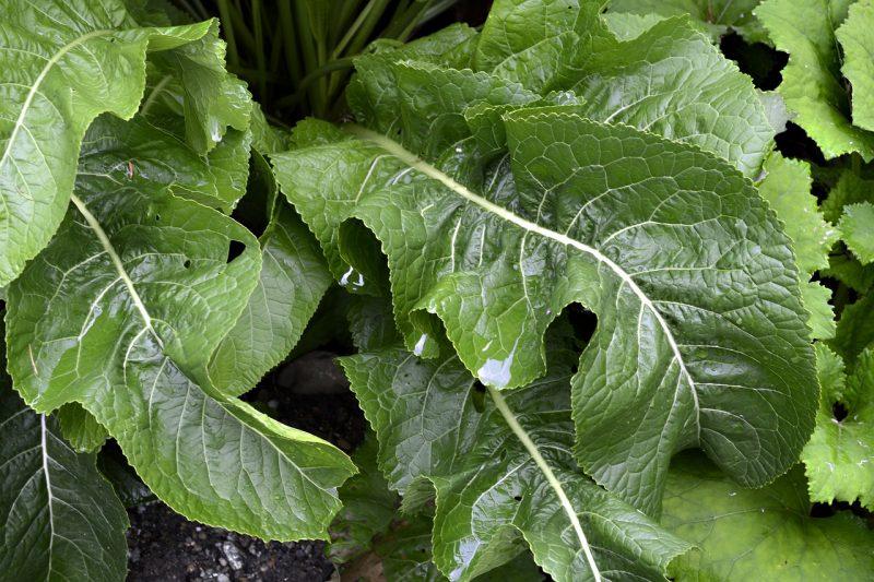 Perennial herbs horseradish