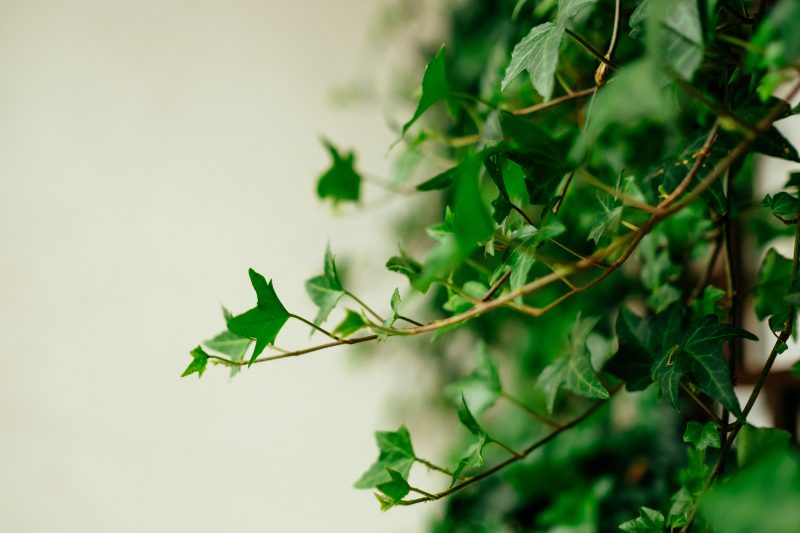 English ivy bathroom plants