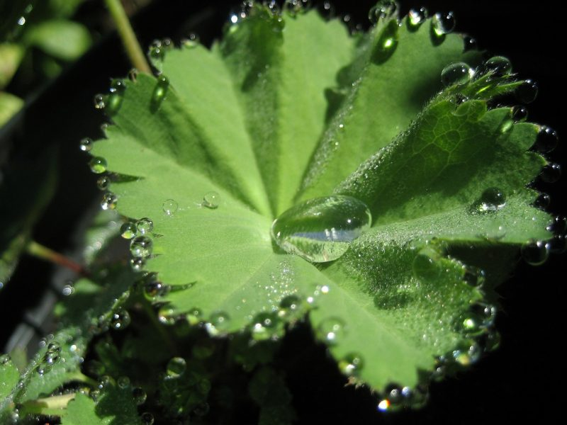 Lady's mantle perennial herbs