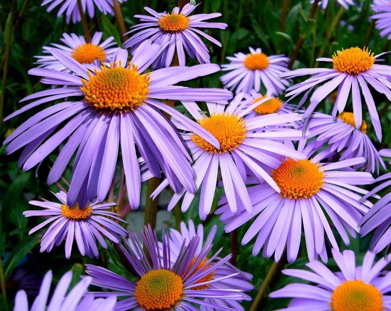 Michaelmas daisy asters