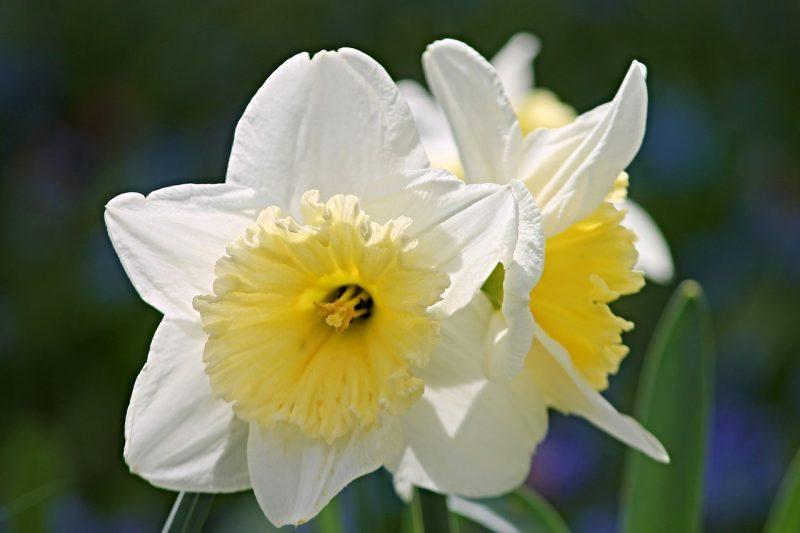 Narcissus daffodil bulb plants