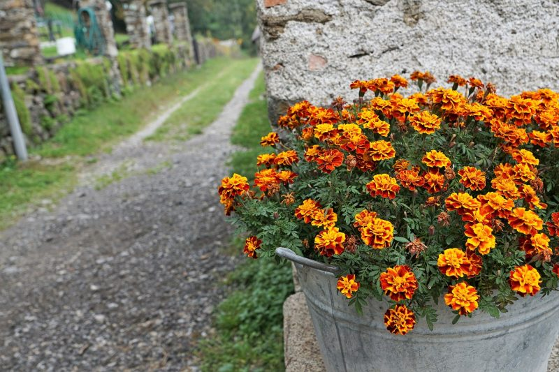 Container marigolds