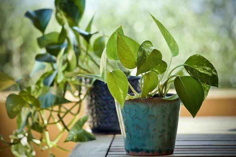 Ivy desk plants