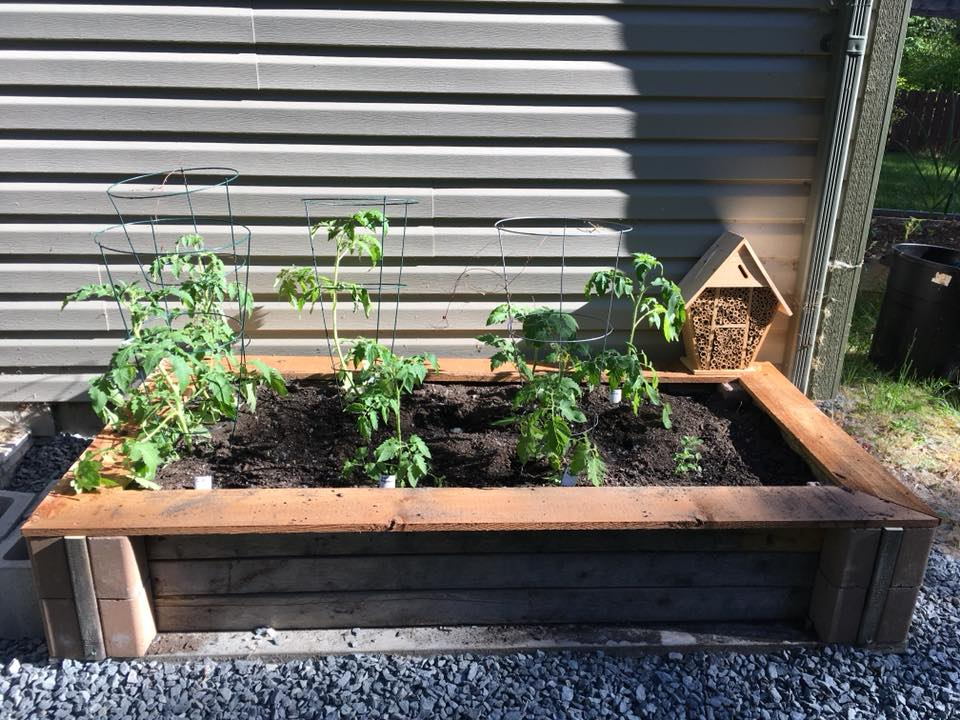 Cinder block raised bed with tomatoes