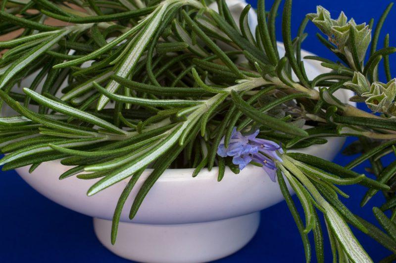 Rosemary perennial herbs