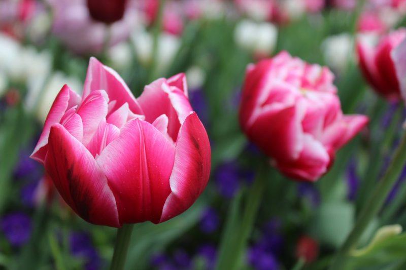 Tulip spring bulb plants