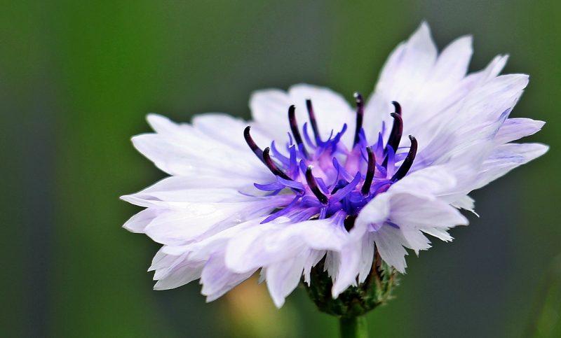 "Centaurea montana ""Amethyst in the Snow"""
